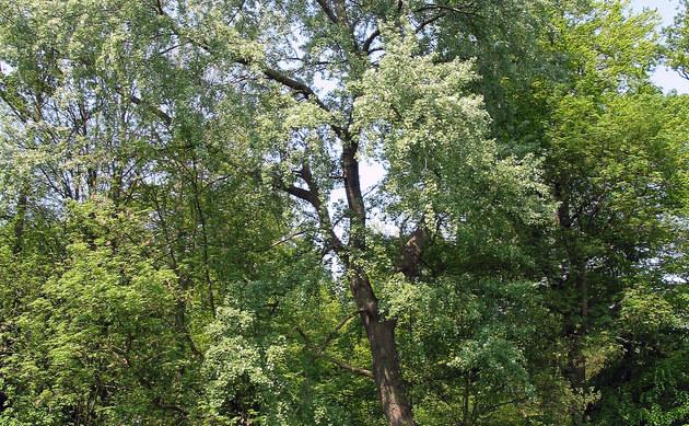 <b>Grau-Pappel - <i>Populus x canescens</i></b>