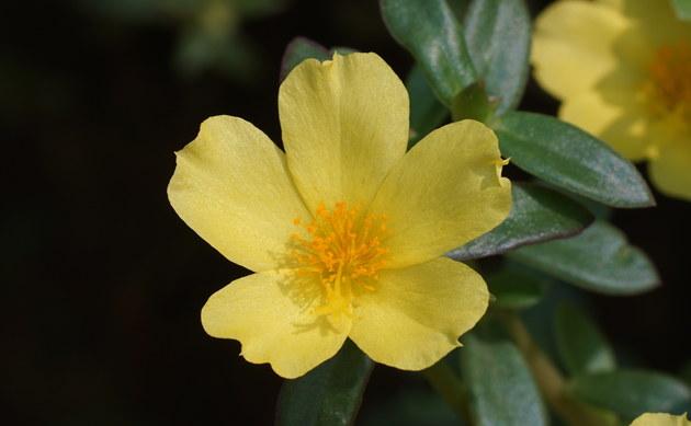 <b>Portulak - <i>Portulaca oleracea</i></b>