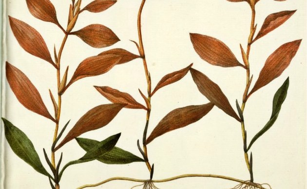 <b>Gefärbtes Laichkraut - <i>Potamogeton coloratus</i></b>