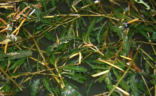 <b>Krauses Laichkraut - <i>Potamogeton crispus</i></b>