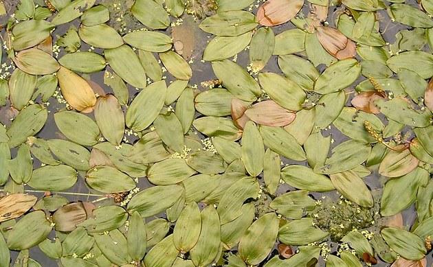 <b>Schwimmendes Laichkraut - <i>Potamogeton natans</i></b>
