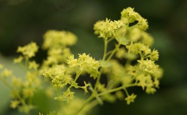 <b>Spitzlappiger Frauenmantel - <i>Alchemilla vulgaris agg.</i></b>