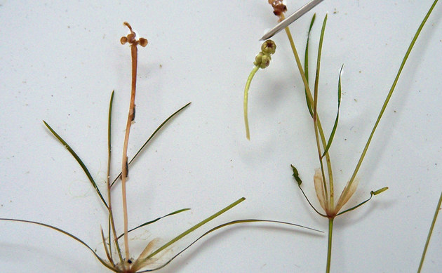 <b>Haarförmiges Laichkraut - <i>Potamogeton trichoides</i></b>