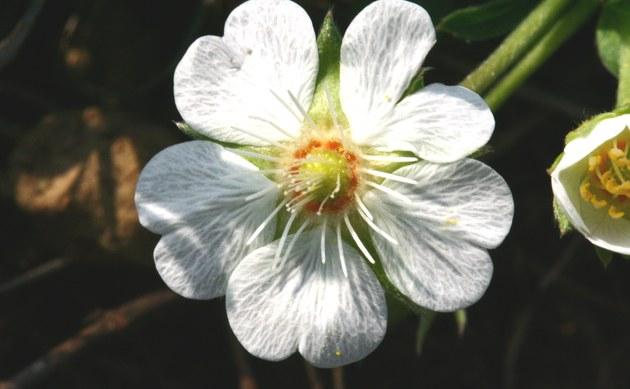 <b>Weißes Fingerkraut - <i>Potentilla alba</i></b>