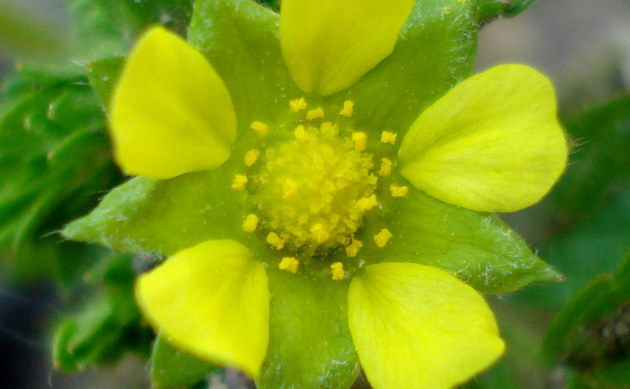<b>Niedriges Fingerkraut - <i>Potentilla supina</i></b>
