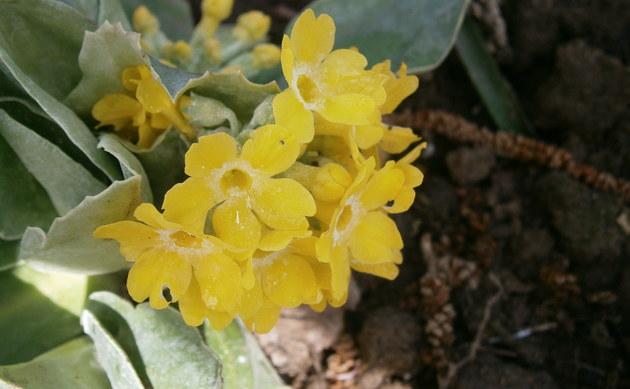 <b>Alpen-Aurikel - <i>Primula auricula</i></b>