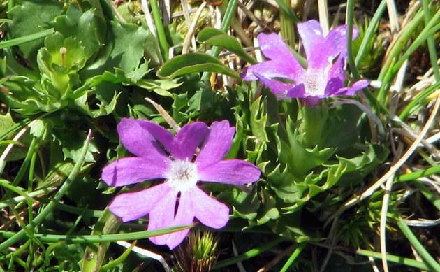 <b>Zwerg-Schlüsselblume - <i>Primula minima</i></b>