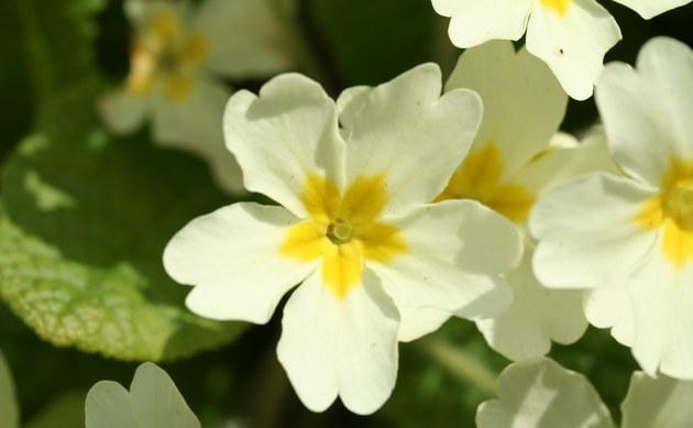 <b>Stengellose Schlüsselblume - <i>Primula vulgaris</i></b>