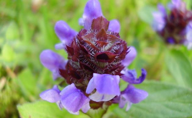 <b>Kleine Braunelle - <i>Prunella vulgaris</i></b>
