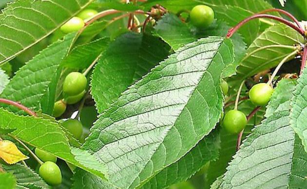<b>Wilde Vogelkirsche - <i>Prunus avium</i></b>