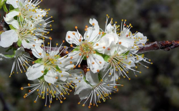 <b>Pflaume - <i>Prunus domestica</i></b>