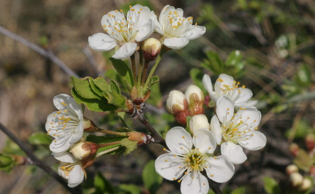 Zwerg-Weichsel - Prunus fruticosa