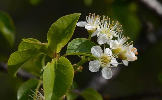 <b>Stein-Weichsel - <i>Prunus mahaleb</i></b>