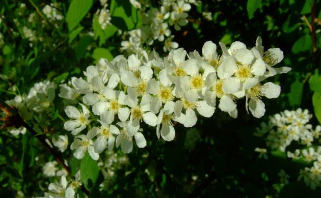 <b>Traubenkirsche - <i>Prunus padus</i></b>