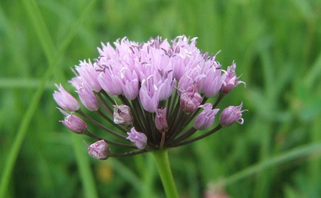 <b>Kantiger Lauch - <i>Allium angulosum</i></b>