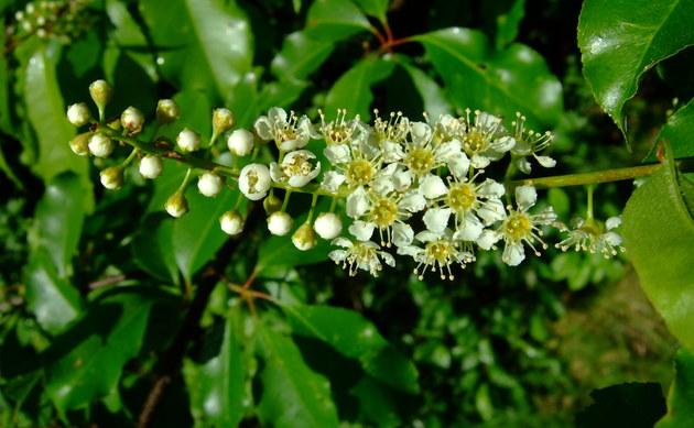 <b>Späte Traubenkirsche - <i>Prunus serotina</i></b>