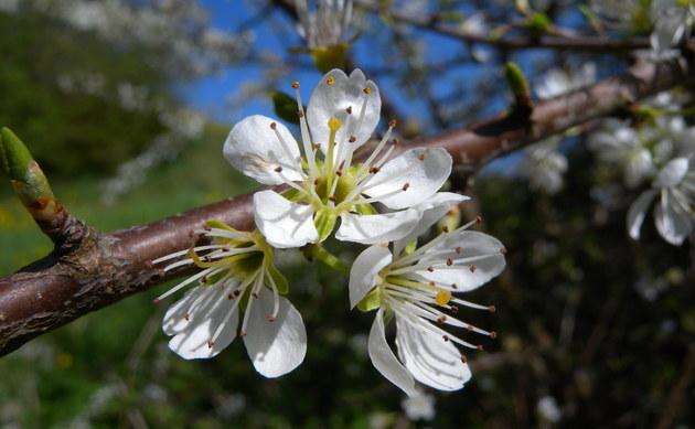 <b>Schlehe - <i>Prunus spinosa</i></b>