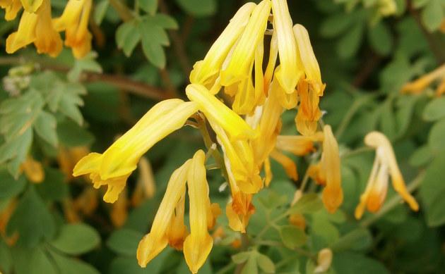 <b>Gelber Lerchensporn - <i>Pseudofumaria lutea</i></b>