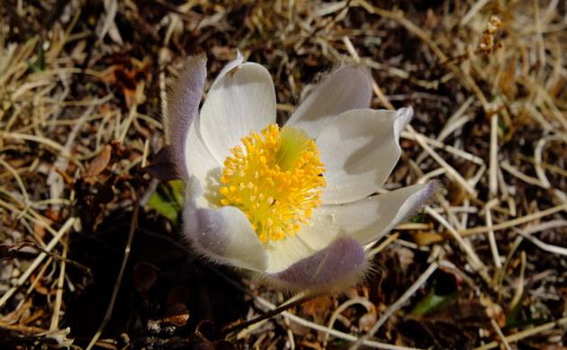 <b>Frühlings-Kuhschelle - <i>Pulsatilla vernalis</i></b>