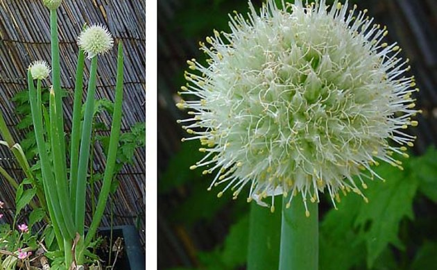 <b>Speisezwiebel - <i>Allium cepa</i></b>