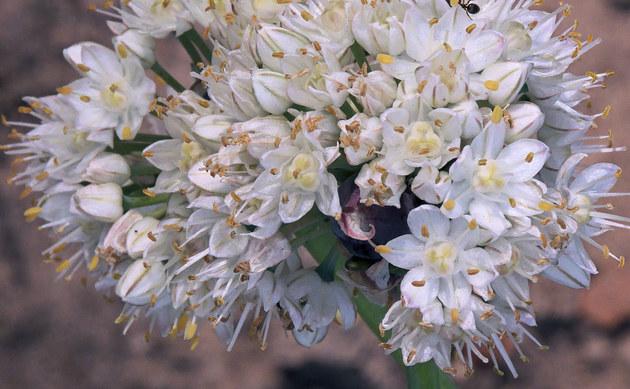 <b>Winterzwiebel - <i>Allium fistulosum</i></b>