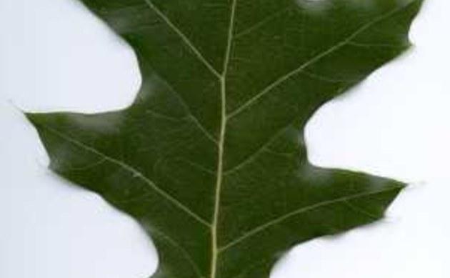 <b>Rot-Eiche - <i>Quercus rubra</i></b>