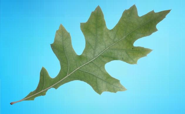 <b>Sumpf-Eiche - <i>Quercus palustris</i></b>