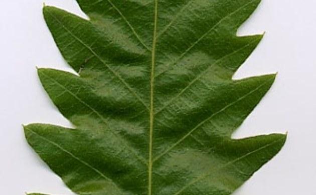 <b>Zerr-Eiche - <i>Quercus cerris</i></b>
