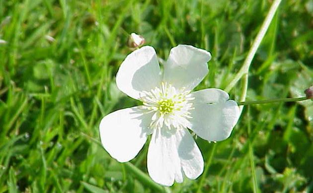 <b>Eisenhutblättriger Hahnenfuß - <i>Ranunculus aconitifolius</i></b>
