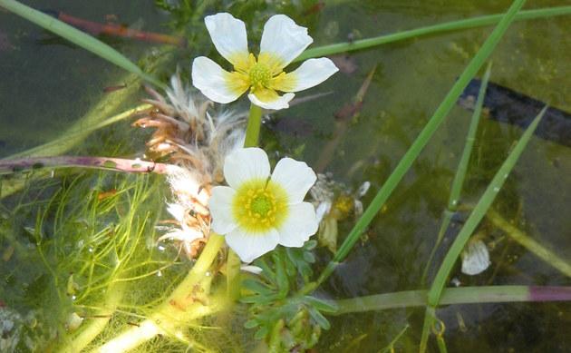 <b>Gewöhnlicher Wasser-Hahnenfuß - <i>Ranunculus aquatilis</i></b>