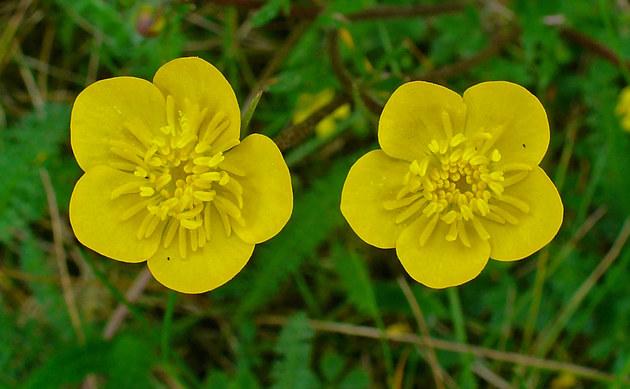 <b>Knolliger Hahnenfuß - <i>Ranunculus bulbosus</i></b>