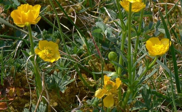 <b>Kärntner Berg-Hahnenfuß - <i>Ranunculus carinthiacus</i></b>