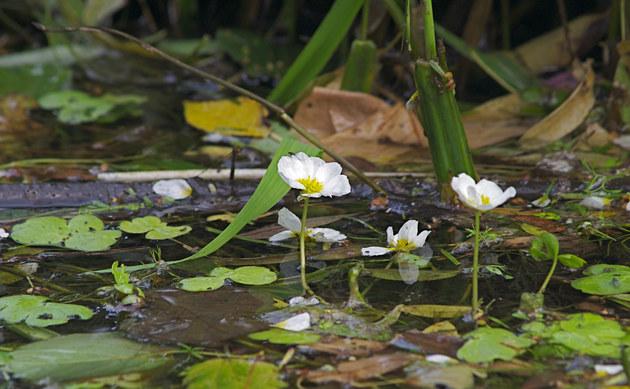 <b>Spreizender Wasser-Hahnenfuß - <i>Ranunculus circinatus</i></b>