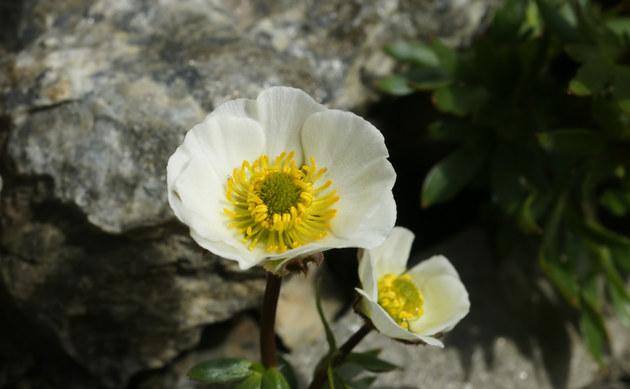 <b>Gletscher-Hahnenfuß - <i>Ranunculus glacialis</i></b>