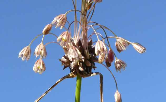 <b>Gemüse-Lauch - <i>Allium oleraceum</i></b>