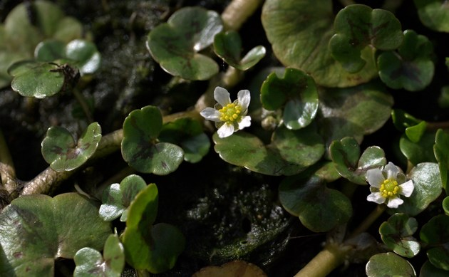 <b>Efeublättriger Wasser-Hahnenfuß - <i>Ranunculus hederaceus</i></b>