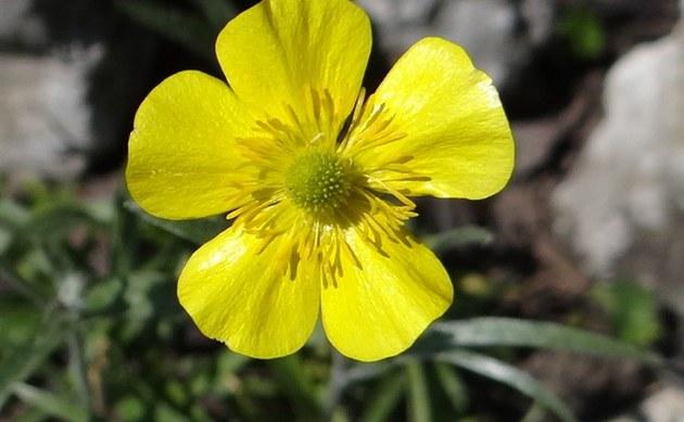 <b>Illyrischer Hahnenfuß - <i>Ranunculus illyricus</i></b>