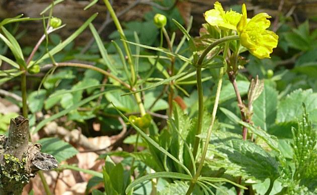 <b>Feinstengeliger Gold-Hahnenfuß - <i>Ranunculus leptomeris</i></b>