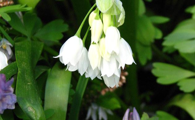 <b>Wunder-Lauch - <i>Allium paradoxum</i></b>