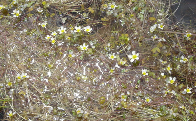 <b>Reinweißer Wasser-Hahnenfuß - <i>Ranunculus ololeucos</i></b>