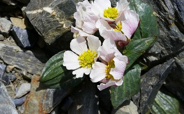 <b>Herzblättriger Hahnenfuß - <i>Ranunculus parnassiifolius</i></b>
