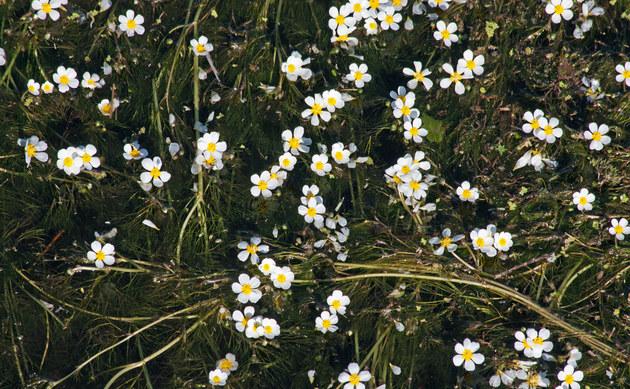 <b>Pinselblättriger Wasser-Hahnenfuß - <i>Ranunculus penicillatus</i></b>