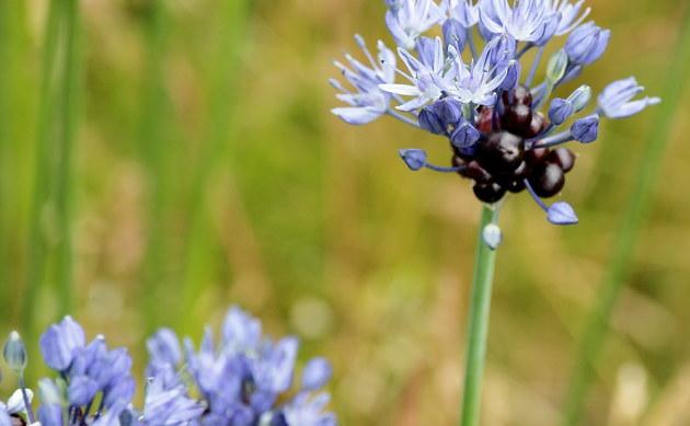<b>Schlangen-Lauch - <i>Allium scorodoprasum</i></b>