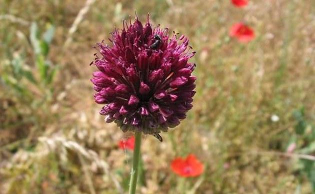 <b>Kugelköpfiger Lauch - <i>Allium sphaerocephalon</i></b>