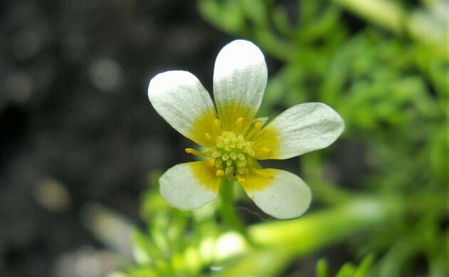 <b>Haarblättriger Wasser-Hahnenfuß - <i>Ranunculus trichophyllus</i></b>