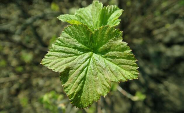 <b>Schwarze Johannisbeere - <i>Ribes nigrum</i></b>