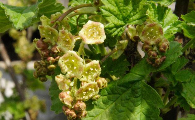 <b>Rote Johannisbeere - <i>Ribes rubrum var. domesticum</i></b>