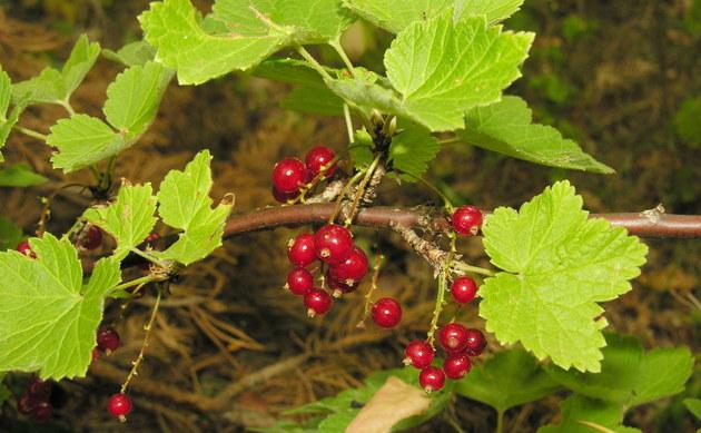 <b>Ährige Johannisbeere - <i>Ribes spicatum</i></b>