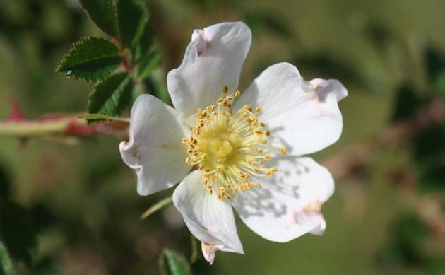 <b>Feld-Rose - <i>Rosa agrestis</i></b>