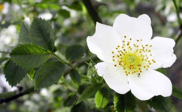 <b>Acker-Rose - <i>Rosa arvensis</i></b>